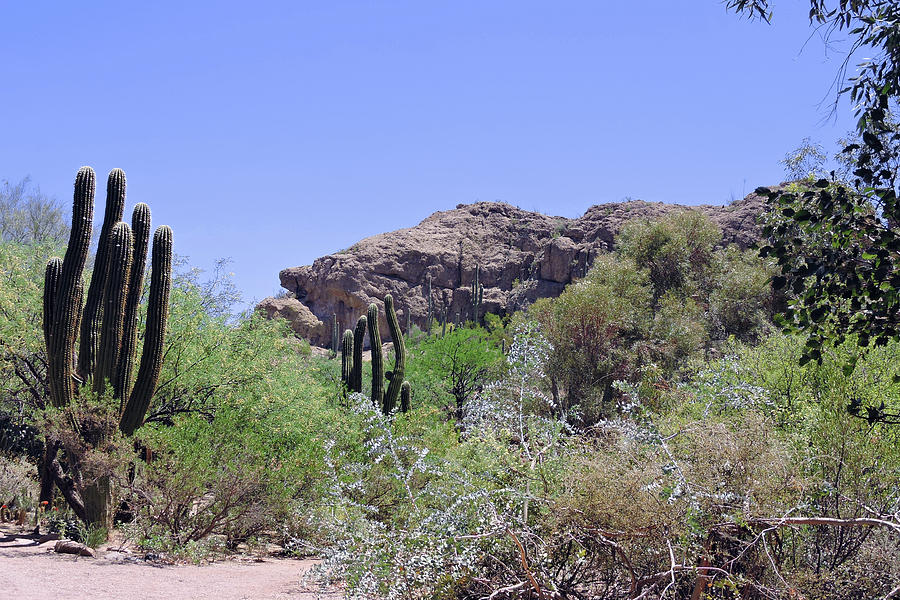 Saguaros by Grace Dillon