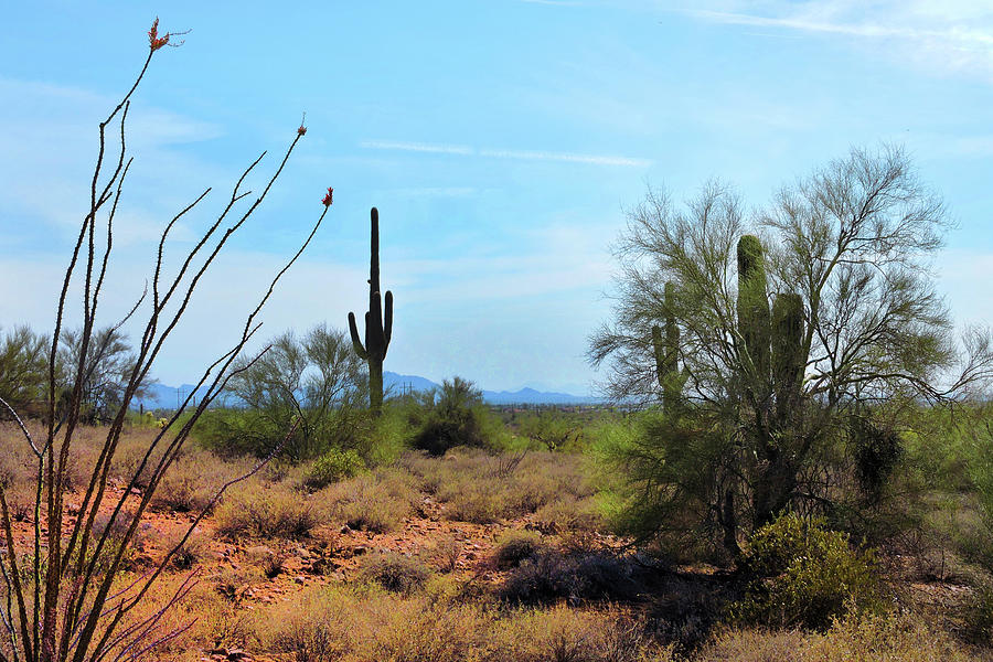 Saguaros in Sonoran Desert by Grace Dillon
