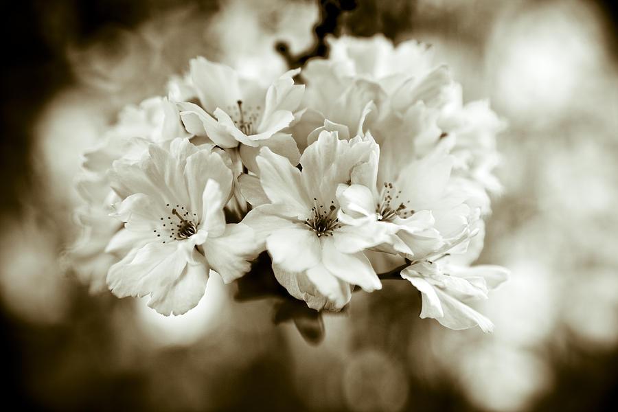 Sakura Photograph - Sakura by Frank Tschakert