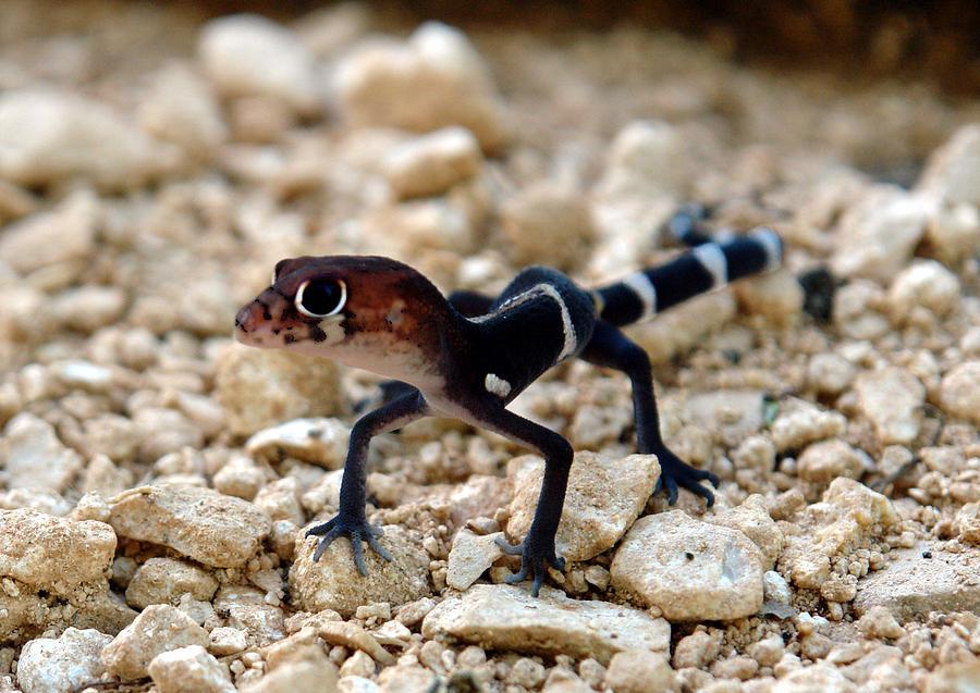 Reptile Photograph - Salamandra Oki by Angel Ortiz