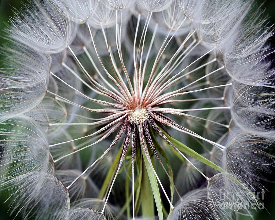 Salsify by Natalie Dowty