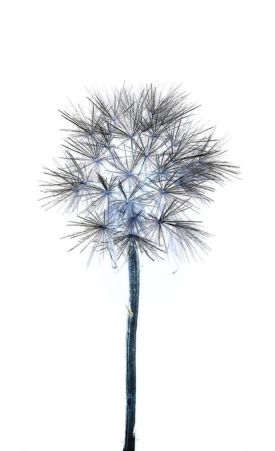 Dandelion Photograph - Salsify Seed Head by Gareth Davies
