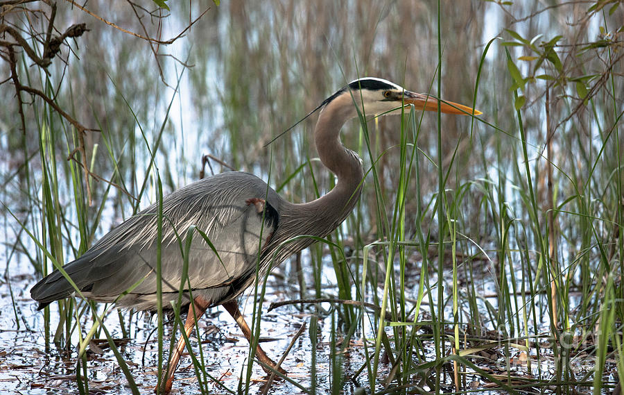 Blue Heron Photograph - Salt Marsh Blue Heron II by Dale Powell