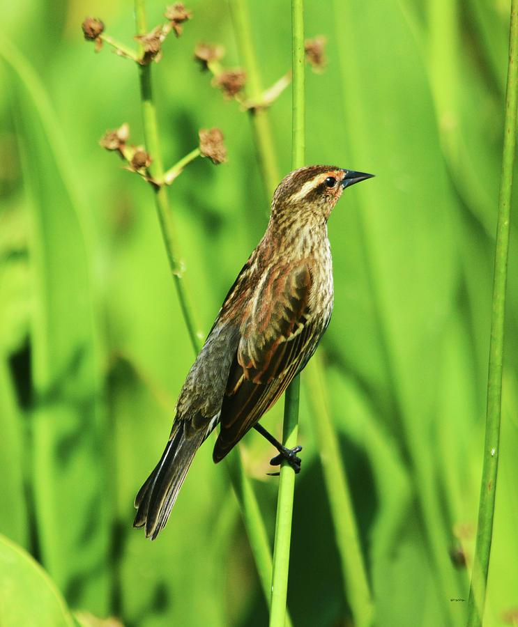 Saltmarsh Sparrow Pyrography - Saltmarsh Sparrow by Sally Sperry