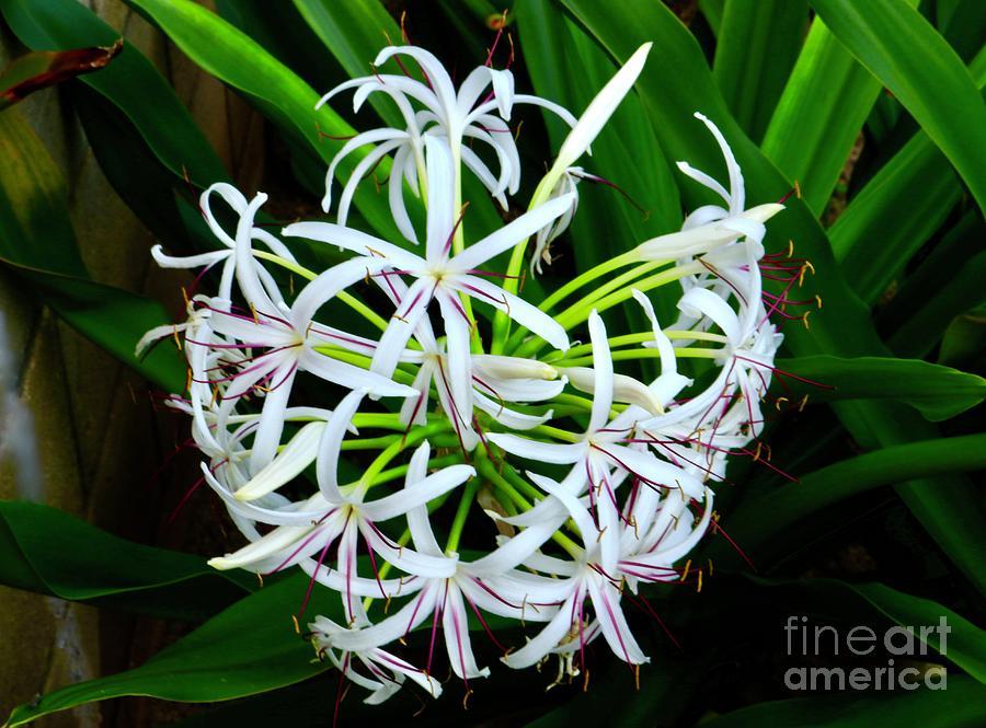 Samoan Photograph - Samoan Spider Lily by Craig Wood