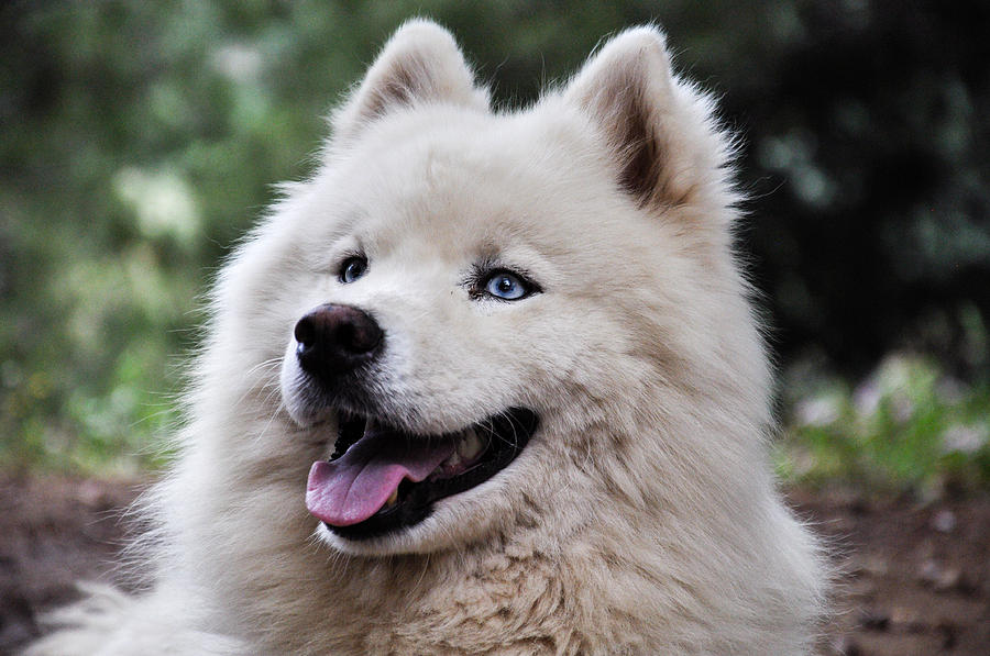 Samoyed Photograph - Samoyed Dog by Freepassenger By Ozzy CG