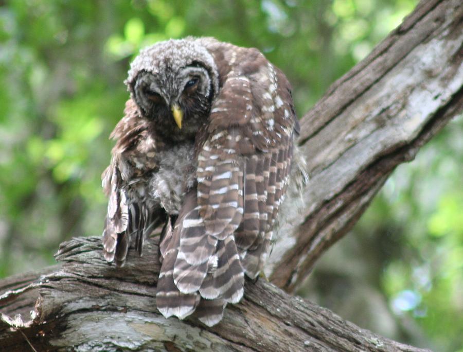 Samurai Warrior Owl  by Anita Parker