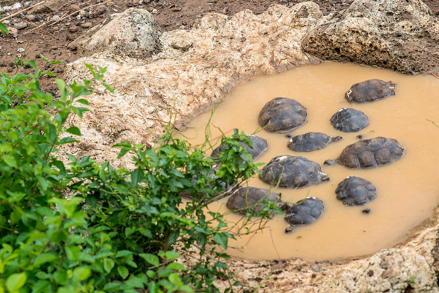 Galapagos Photograph - San Cristobal 2-year Old Tortoises by Harry Strharsky