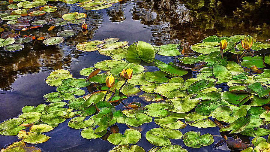 San Francisco Waterlilies by Beth Akerman