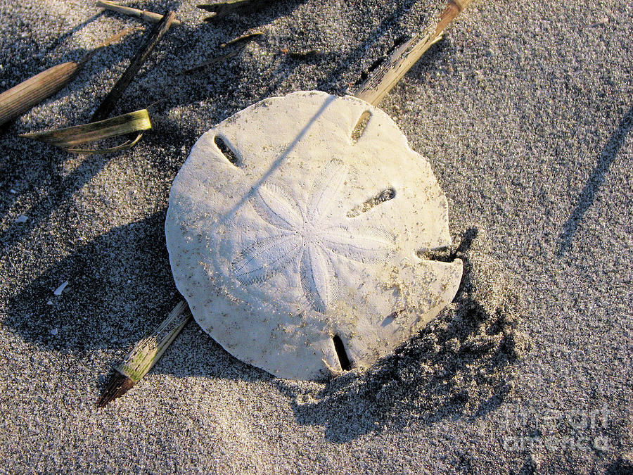 Shell Photograph - Sand Dollar by Katie Monzel