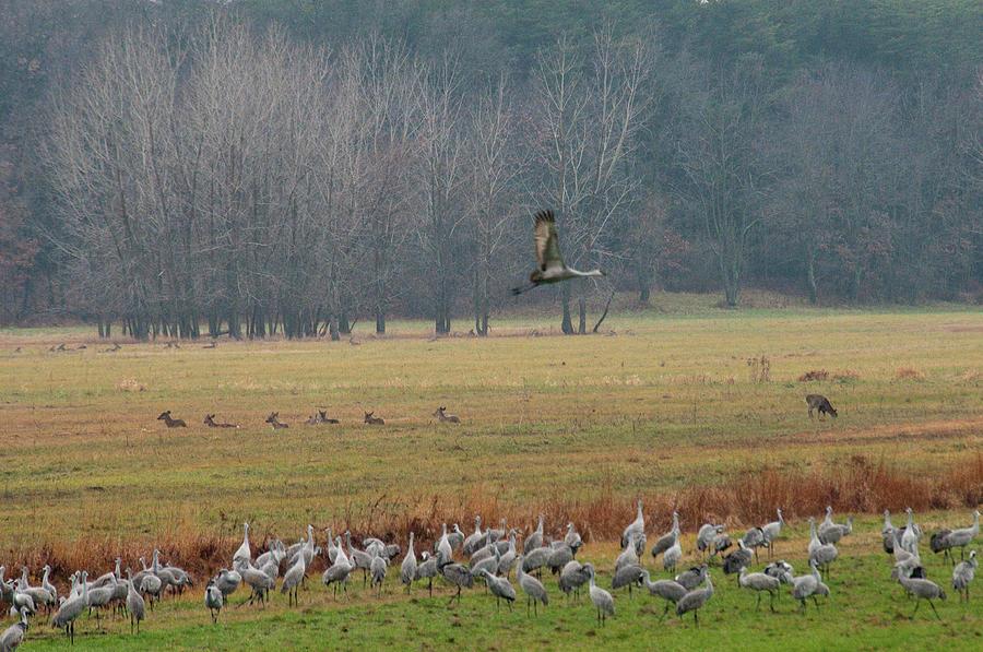 Birds Photograph - Sand Hill Crane Migration by David Arment