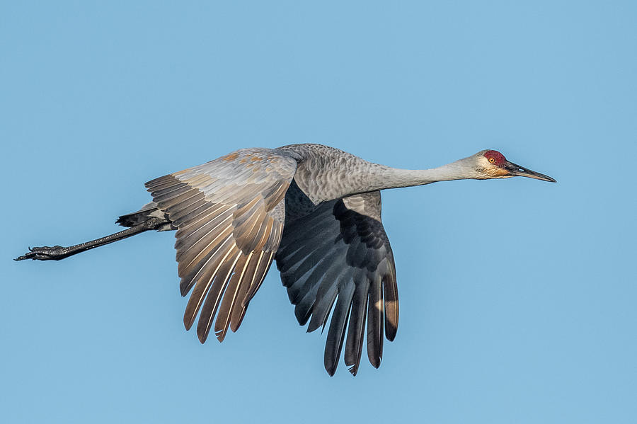 Crane Photograph - Sand Hill Gliding by Paul Freidlund