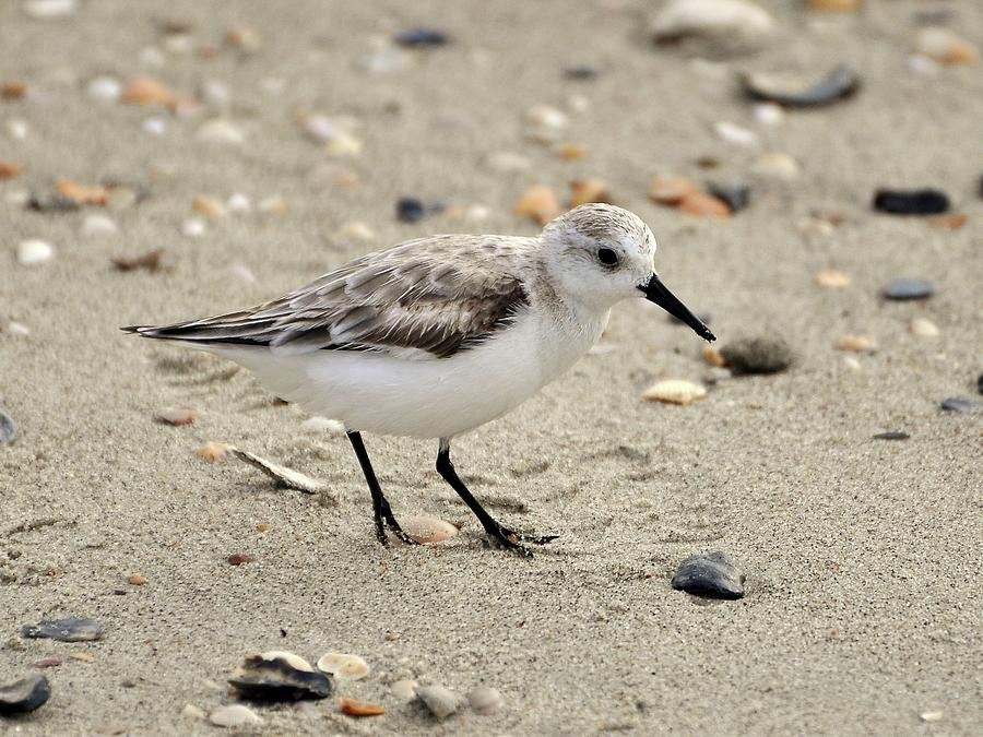 Sanderling Photograph - Sanderling by Al Powell Photography USA