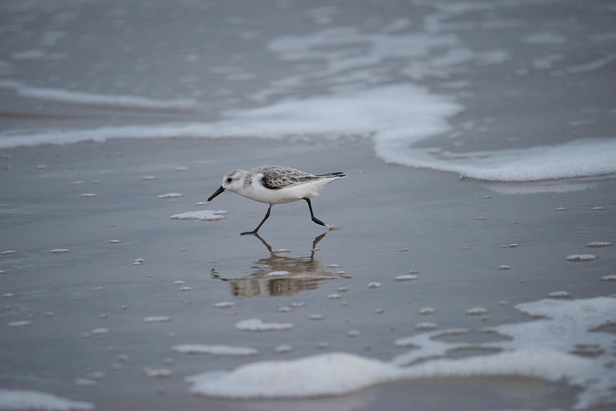 South Padre Island Photograph - Sanderling by JG Thompson