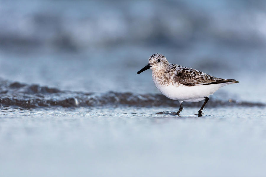 Indiana Photograph - Sanderling by Mike Timmons