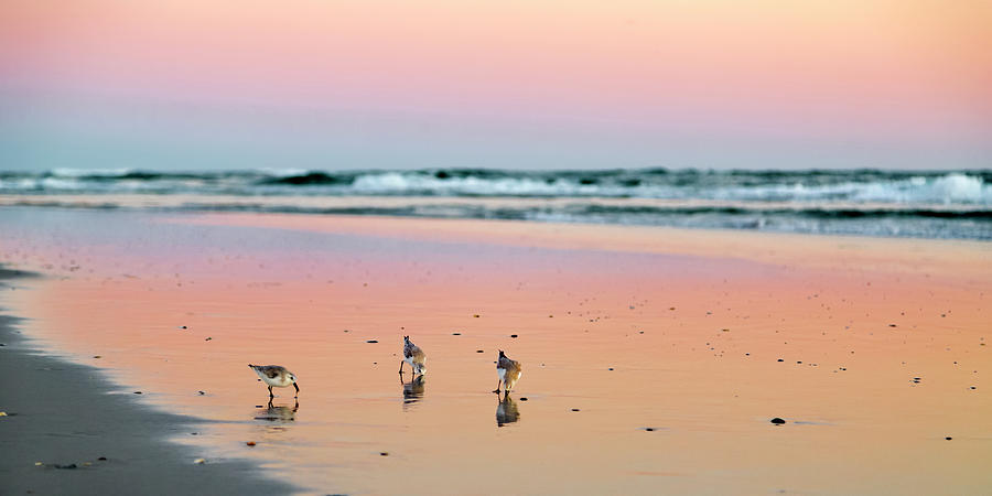 Topsail Photograph - Sanderling Sunset Topsail Island by Betsy Knapp
