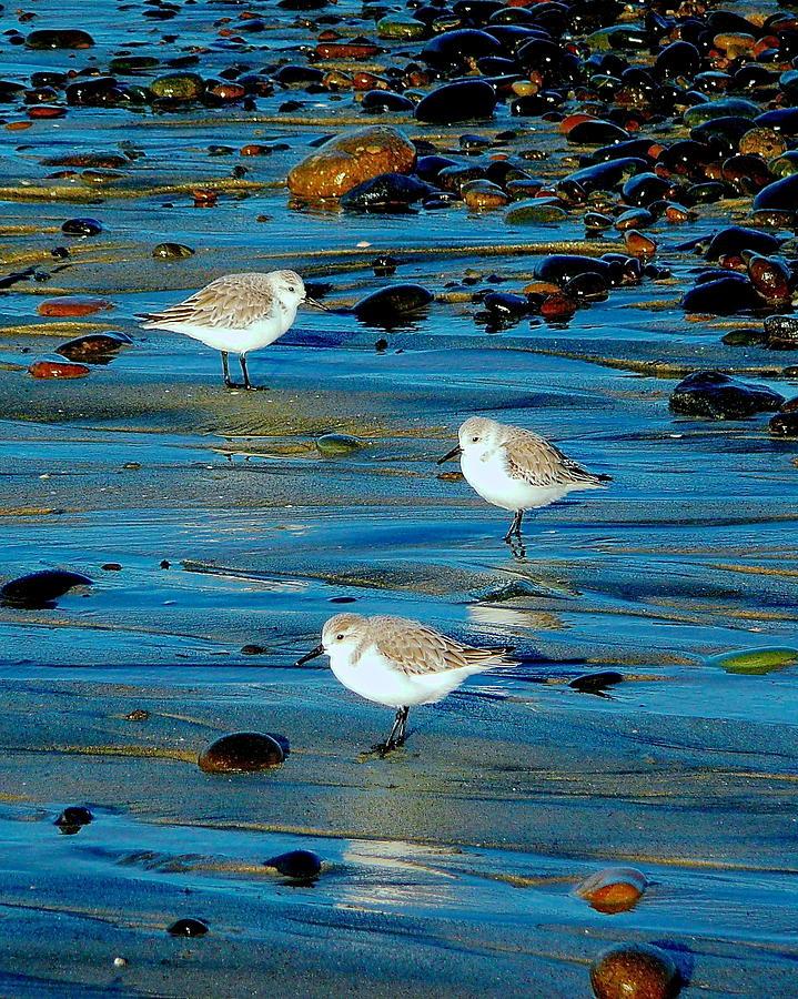 Sanderlings on Blue by Joy Buckels