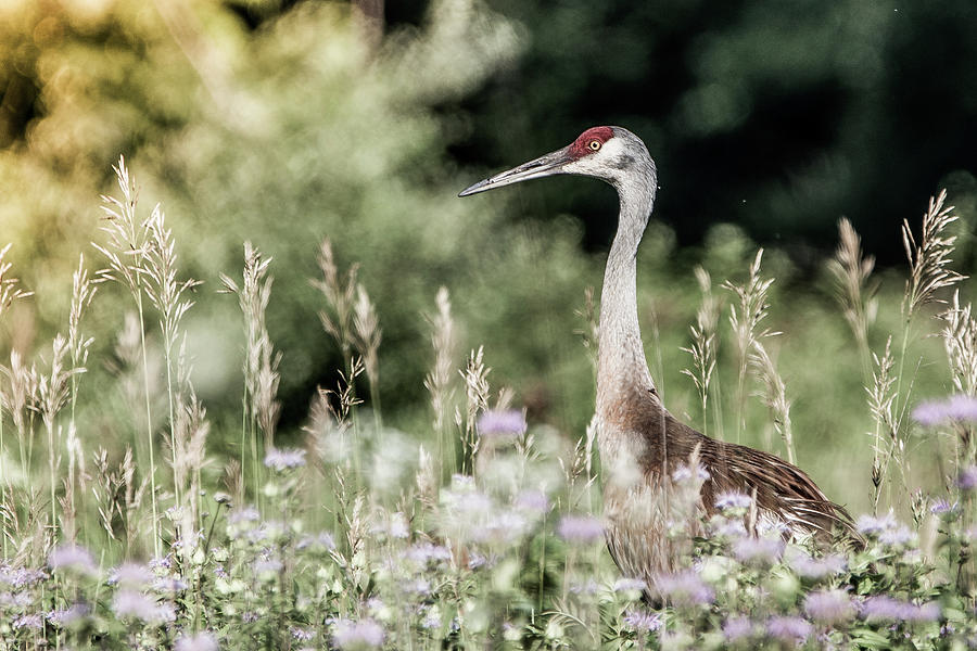 Summer Photograph - Sandhill Crane by Cathy Cooley