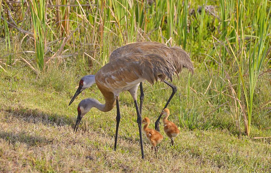 Sandhill Crane family by Bill Hosford