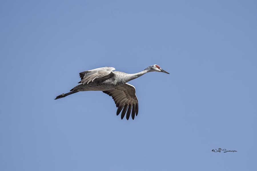 Sandhill Crane Photograph - Sandhill Crane In Flight by Jeff Swanson