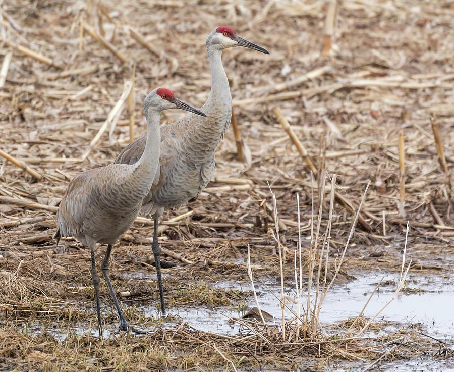Sandhill Cranes Photograph - Sandhill Cranes 2018-1 by Thomas Young