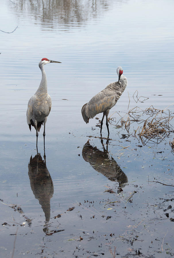 Sandhill Cranes 7 Photograph By Dawn Dasharion