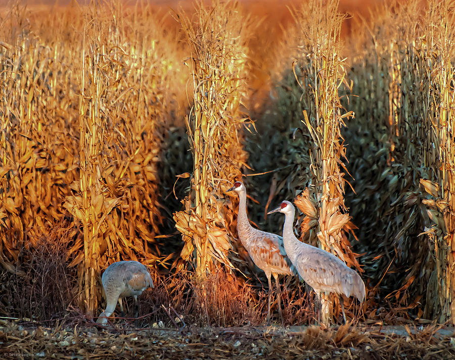 Sandhill Cranes at Sunrise by Britt Runyon