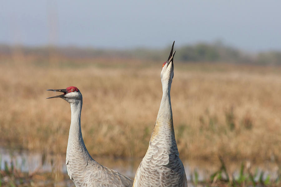 Sandhill Cranes Calling Photograph