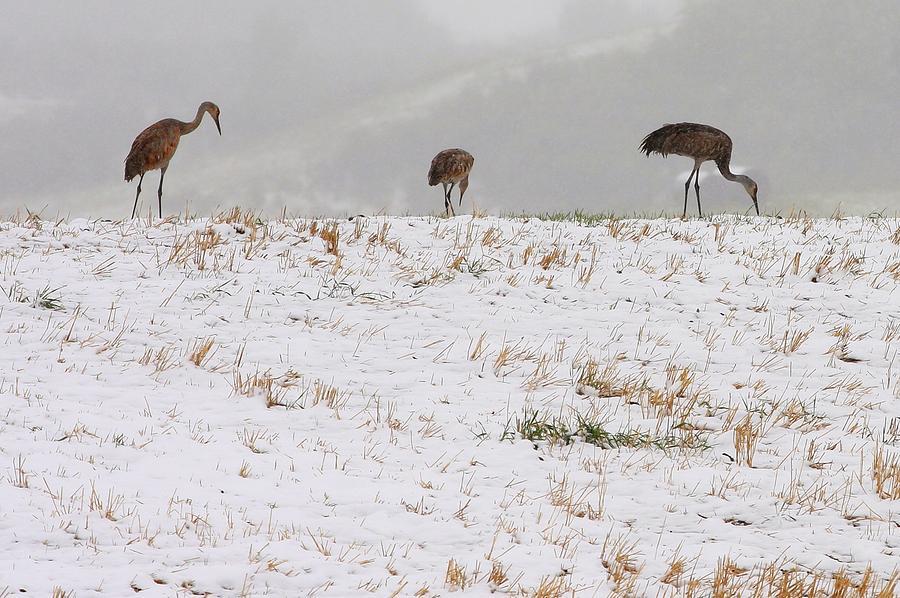 Cranes Photograph - Sandhill Cranes by Harley J  Winborn