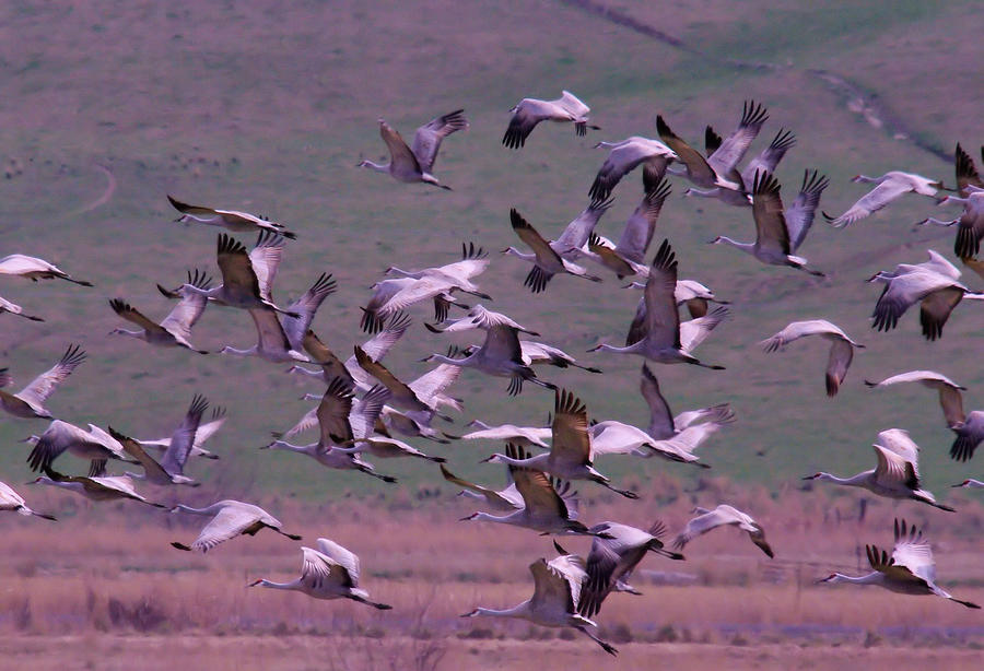 Birds Photograph - Sandhill Cranes  by Jeff Swan