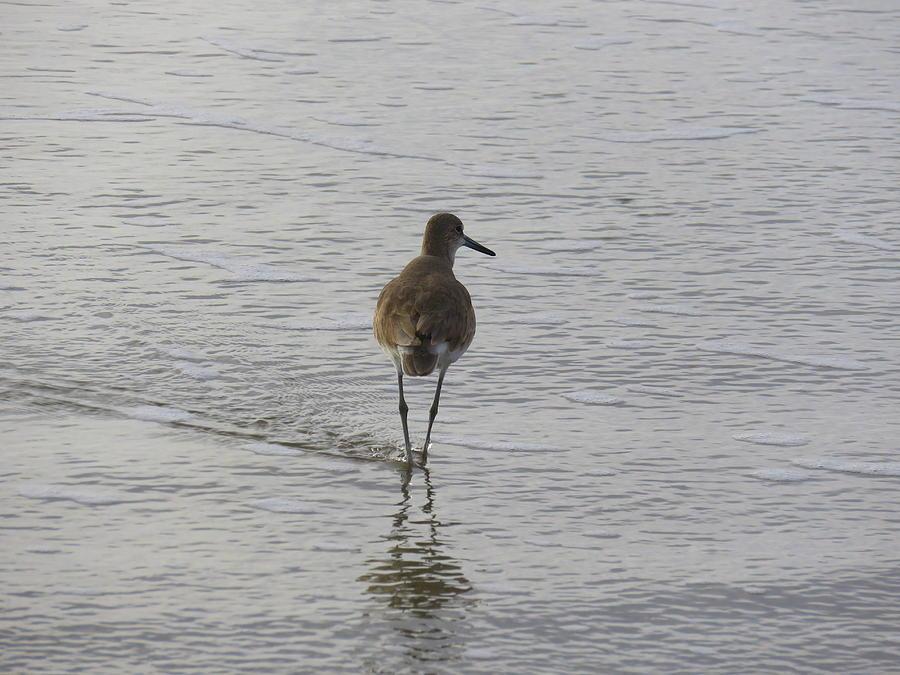Sandpiper at Shoreline by Judith Lauter