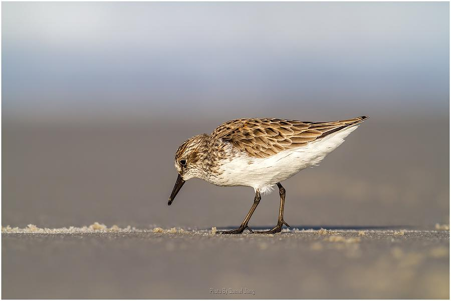 Wild Photograph - Sandpiper by Quenel Jiang