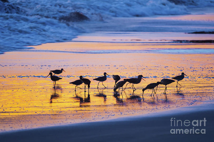 Group Photograph - Sandpipers In A Golden Pool Of Light by Sharon Foelz