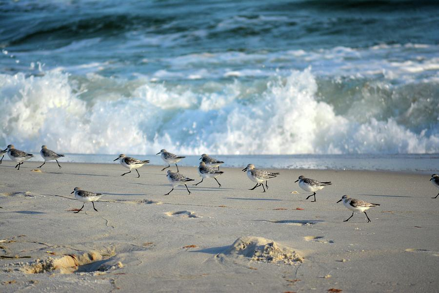 Sandpipers Photograph - Sandpipers Running Everywhere by Tamra Lockard