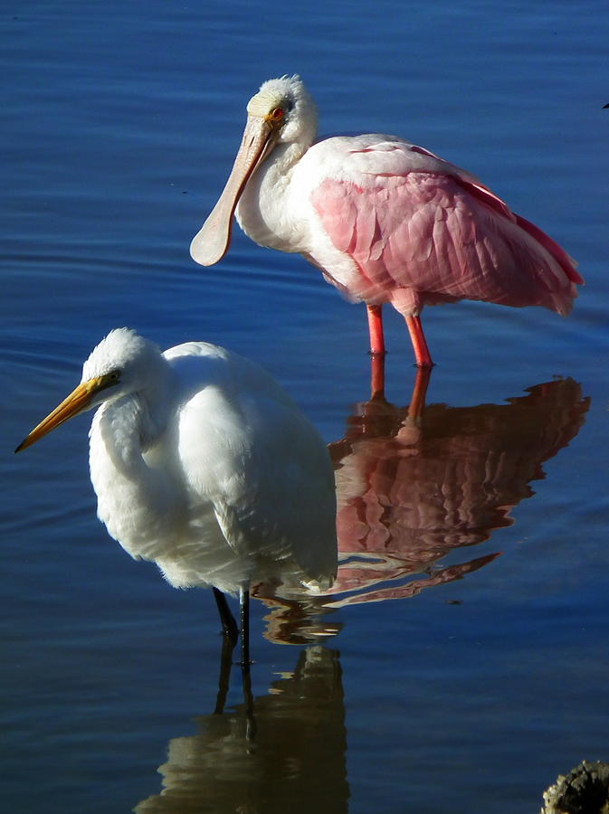 Birds Photograph - Sanibel Water Fowl by Wayne Skeen