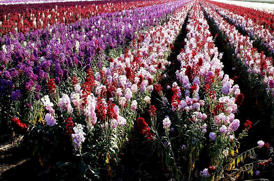 Flowerfield Photograph - Santa Barbara County Flowerfield by Bill Morson