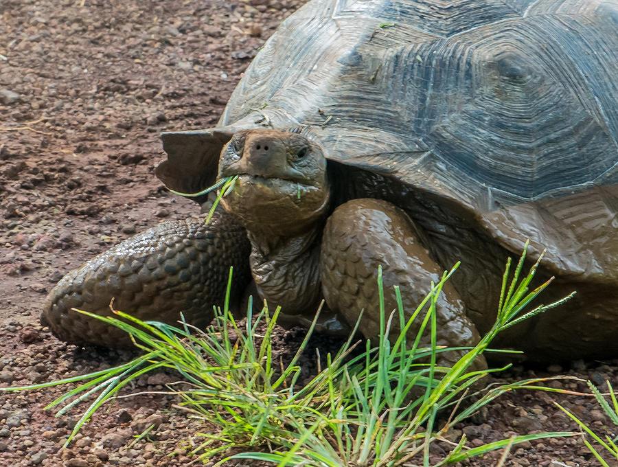 Galapagos Photograph - Santa Cruz Tortoise Grass Feast by Harry Strharsky