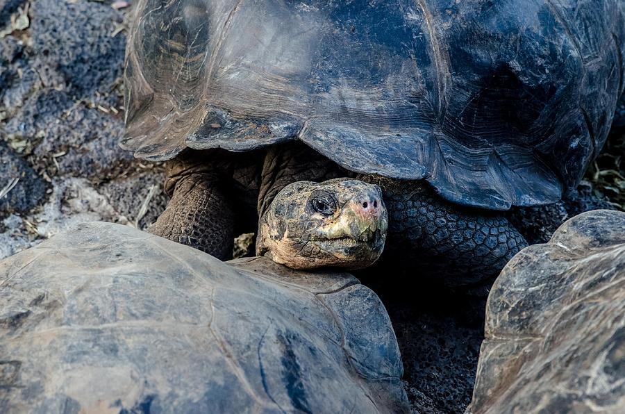 Galapagos Photograph - Santa Cruz Tortoise by Harry Strharsky