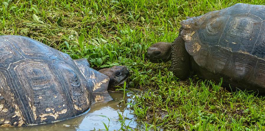 Galapagos Photograph - Santa Cruz Tortoise Meeting by Harry Strharsky