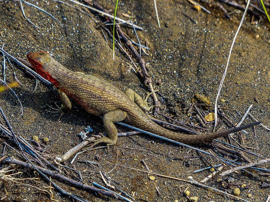 Galapagos Photograph - Santiago Lava Lizard by Harry Strharsky