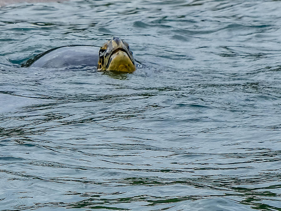 Galapagos Photograph - Santiago Sea Turtle by Harry Strharsky