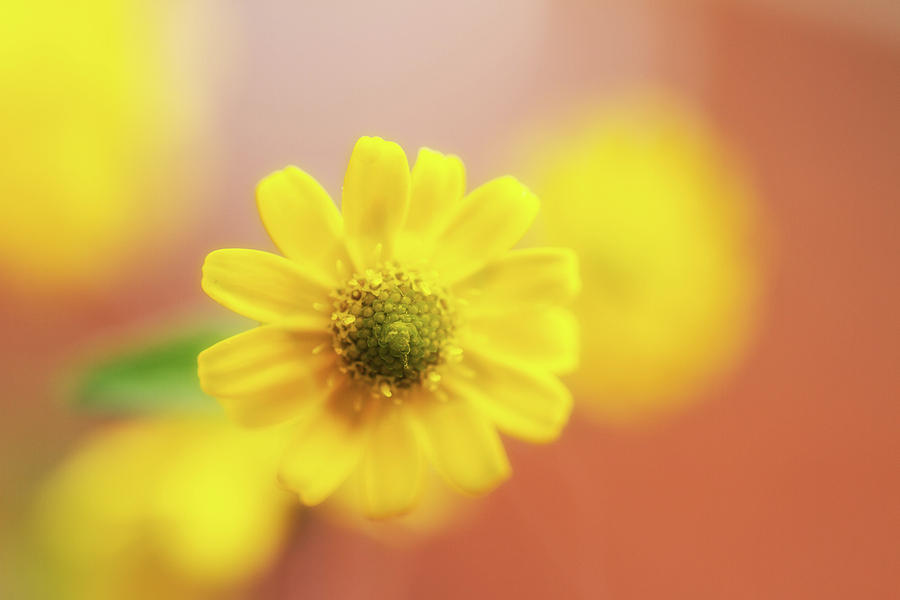 Yellow Photograph - Sanvitalia  by Wayne Molyneux