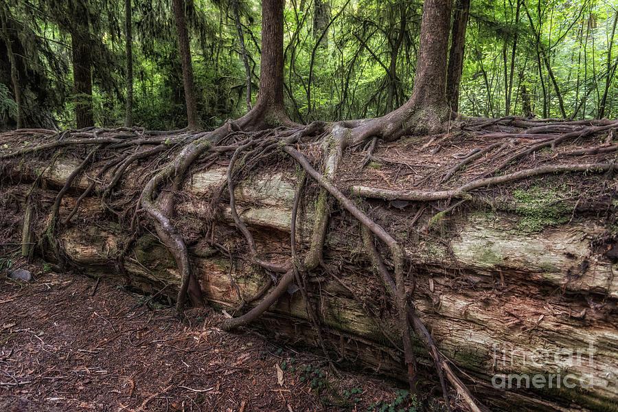 Saplings Growing On Log by Al Andersen