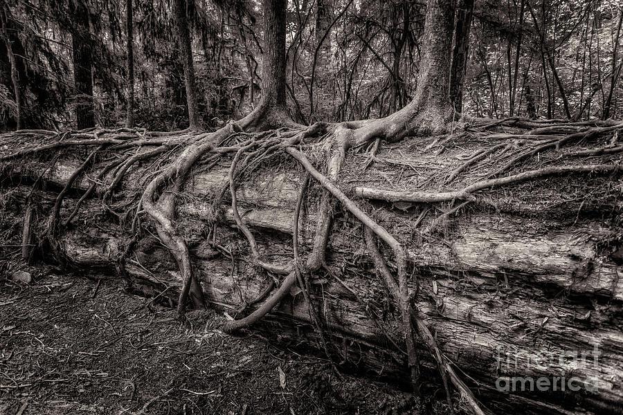 Saplings Growing On Log Toned by Al Andersen