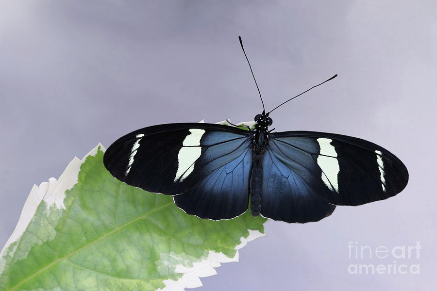 Sara Longwing Butterfly V2 by Judy Whitton