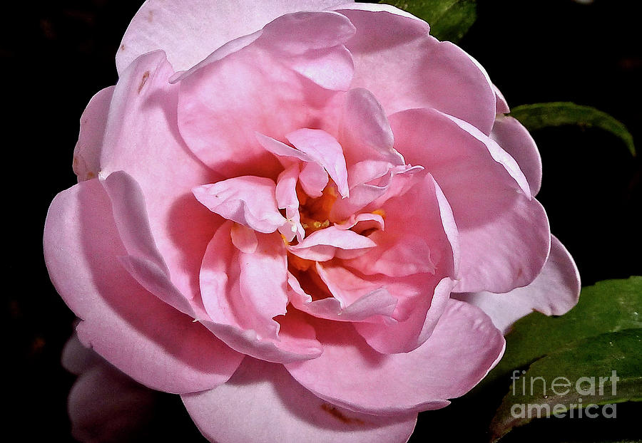 Sasanqua Camellia by Jean Wright