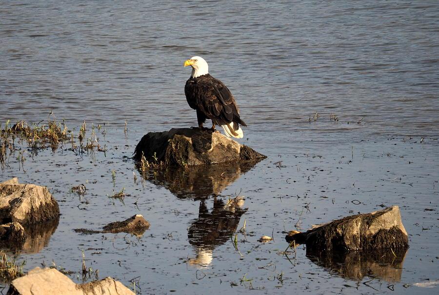 Eagles Photograph - Saturday November 21 2015 by Darrell MacIver