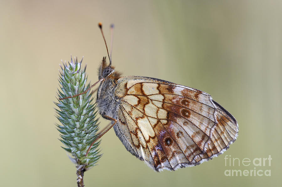 Insect Photograph - Satyr Butterfly On Blade Of Grass by Michal Boubin