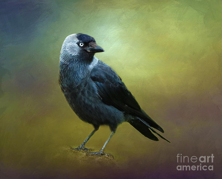 Jackdaw Photograph - Saucy Jackdaw by Judi Bagwell