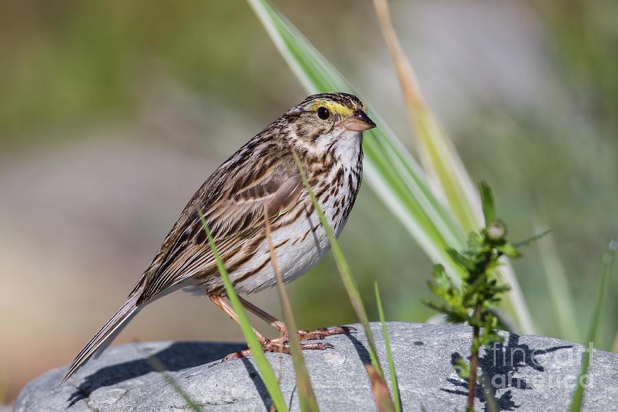 Wildlife Photograph - Savanah Sparrow by Nicolaas Honig